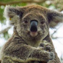 sejour_linguistique_australie_animaux_koala