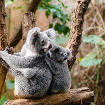 lec-sejour-de-langue-en-australie-protection-koala